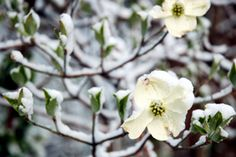 What+is+Dogwood+Winter?