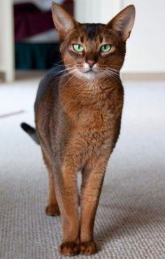 What a beautiful Abyssinian cat….