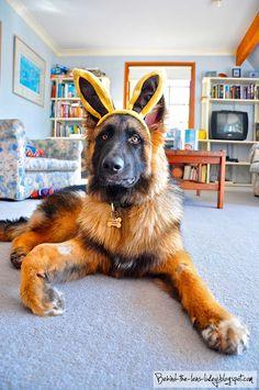German shepherd rabbit ^_^ (photo by Behind the Lens Lukey)