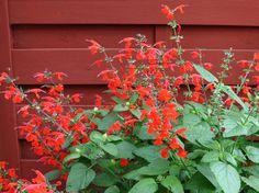 SCHARLAKANSSALVIA 'Summer Jewel Red'
