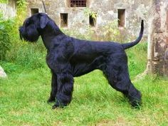 Ranked as one of the most popular dog breeds in the world, the Miniature Schnauzer is a cute little square faced furry coat. Schnauzer Mix, Standard Schnauzer, Miniature Schnauzer Puppies, Giant Schnauzer For Sale, Silly Dogs, Big Dogs, Giant Dogs, Dressage, Schnauzer Gigante