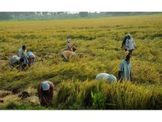 Paddy harvesting begins in Krishna district