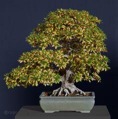 Rhododendron indicum (azalée satsuki)