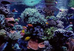 The Masterpiece Aquarium of David Saxby Saltwater Aquarium Fish, Saltwater Tank, Reef Aquarium, Bubble Tip Anemone, Fighting Conch, Aquarium Maintenance, Marine Aquarium, Cool Tanks, Angel Fish
