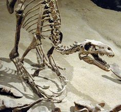 Dromaeosaur From the Cretaceous in Alberta