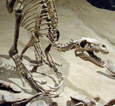 Dromaeosaur From the Cretaceous in Alberta