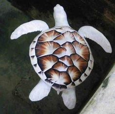 Sea turtle: Mystic white Sri Lankan Sea Turtle.