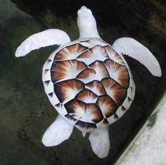 White Turtle/ Weiße Schildkröte