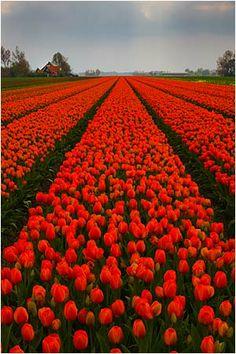 Beautiful Flowers Wallpapers, Beautiful Rose Flowers, Rare Flowers, Growing Flowers, Planting Flowers, Flowers Garden, Birthday Wishes Gif, Tulip Fields, Red Tulips
