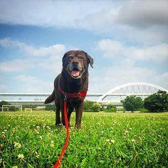 朝のリバーサイド #riverside #chocolab #labrador #retriever #dogwalking #doglover #dogstagram #doginstagram #チョコラブ #ラブラドールレトリーバー #愛犬 #散歩 #リバーサイド