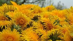 Pampeliška lékařská — Kouzelné bylinky — Česká televize Herbs, Plants, Herb, Plant, Planets, Medicinal Plants