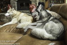 With plenty of comfortable napping spots, we are spreading out for maximum comfort. #dog #siberianhusky #husky