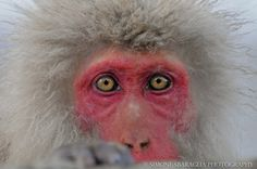 Simone Sbaraglia, japanese macaque. Japanese Macaque, Alaska, Monkeys, Rompers, Monkey, At Sign