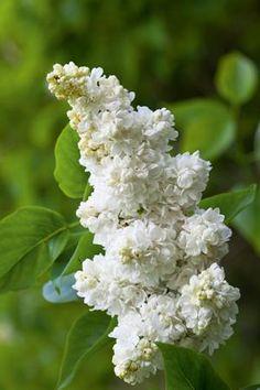 Syringa vulgaris 'Miss Willmott' (Sering), trossen, heerlijk geurende pluimen, hartvormig blad, bloei op hout van vorig seizoen, mooi op stam als boompje