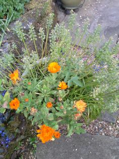 Marigolds and leftovers of grape hyacinths