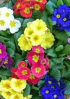 Primroses, a spring flower.