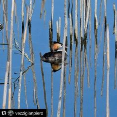 "#Repost @vezzigianpiero  Svasso Oasi Faunistica ""La Valle #photooftheday #picoftheday #instagood #holiday #birds #2k15 #pic #natgeo #nature #naturelove #laghi #lake #trasimenolake #umbria #oasilavalle #ig_italy #ig_umbria"