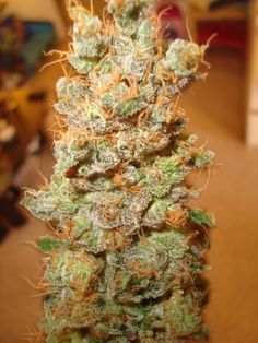 Red Dragon Marijuana Strain Review And Pictures