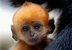 Leaf Monkey baby
