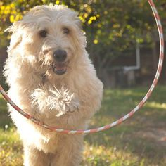 52 things to teach your dog. Starting off with simple; sit, stay. Then going…