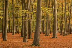 Beech Wood | Flickr - Photo Sharing!