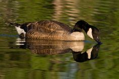 'Canada Goose reflection' by Eivor Kuchta Canvas Prints, Framed Prints, Art Prints, Canadian Gifts, Art Boards, Canada Goose, Reflection, Wildlife, Swimming