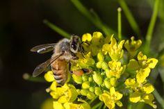 European Honey Bee (Apis Mellifera) [2881  1921] [OC] - http://ift.tt/2aEEnTg