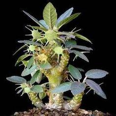 5 Dorstenia foetida Seeds - Exotic Succulents