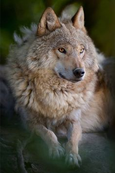 """The gaze of the wolf reaches into our soul."" -Barry Lopez - photo Lynn Dirks from Wild for Wildlife"