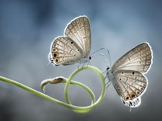 Picture of two white butterflies perched on a stalk Twin Beauties Photograph by Muhammad Mochtar, National Geographic Your Shot