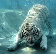 White Bengal tiger Odin swimming underwater in a Californian zoo.