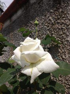 Rosa ...bianca- Margherita