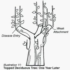 Topped deciduous tree: one year later Deciduous Trees, Coastal, This Or That Questions