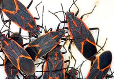 How to Get Rid of Boxelder BugsIf you're house is, or has been, invaded by a swarm of boxelder bugs, you're not alone. These insects are common pests throughout the United States and can enter homes in a variety of different. Best Pest Control, Pest Control Services, Bug Control, Box Elder Bugs, Types Of Bugs, Household Pests, Household Tips, Japanese Beetles, Bees And Wasps