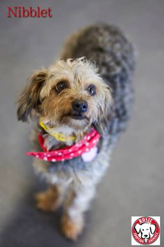 Nibblet the Yorkie mix Status:Available for Adoption Gender:Female Age:4 years old Size:Miniature Weight:12 lbs approx Breed:Yorkie mix With Dogs & Cats:Yes With Children:Over 16 years old To be considered for adoption you must fill out an application, be approved and be able meet the dog in person We are located in the MTL, Canada region. Foster Family, 16 Year Old, Foster Care, Happily Ever After, 4 Years, Gender Female, Yorkie, Pet Adoption, Dog Cat