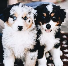 Australian Shepherd – Smart Working Dog - Things I like about the Intelligent. - Australian Shepherd – Smart Working Dog – Things I like about the Intelligent Aussie Dogs - Super Cute Puppies, Cute Baby Dogs, Cute Little Puppies, Cute Dogs And Puppies, Doggies, Funny Puppies, Sweet Dogs, I Like Dogs, Funny Dogs