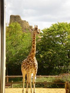 Giraffe, London Zoo. 2006~House of History, LLC.