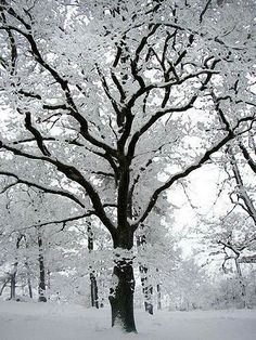 A black and white picture. The season is winter. The tree is seen in the center of the picture. The tree and the landscape around are covered with snow. Winter Szenen, I Love Winter, Winter Magic, Winter Trees, Winter Is Coming, Winter Christmas, Snowy Trees, Prim Christmas, Winter Colors