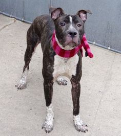 IN FOSTER - NOW SUPER URGENT  - **SICK**  BORI TO BE DESTROYED‼️  01/06/17 - #A1100547 - Manhattan - MALE BR BRINDLE AND WHITE AM PIT BULL TER MIX, 1 Yr 1 Mo-  STRAY ON 12/27/16 - 01/02 CIRDC, START DOXY, MOVE TO ISO - CHECKED FOR CORNEAL SCARRING, CORNEAL TRAUMA - FOUND TIED TO A BENCH IN PARK, POLICE BROUGHT HIM IN WITHOUT ANY PROBLEMS, TOLERATED ALL HANDLING, NO SIGNS OF AGGRESSION