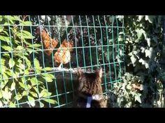 Tsu controlla la gallina - Granny's House Geographic | Granny's House