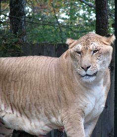 Ligers are a result of cross-breeding a male lion and a female tiger. The species is always mated in captivity, and they are huge animals, weighing up to a ton. These big cats have muted stripes like a tiger, but are the same color as a lion Female Lion, Especie Animal, Mundo Animal, Lion Tigre, Le Zoo, Rare Animals, Exotic Pets, Beautiful Cats, Kitty Cats