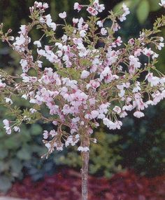 Prunus incisa 'Kojou-No-mai' a Japanese small cherry blossom I added to our terrace