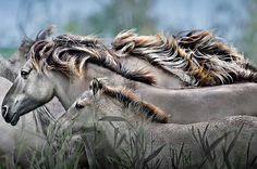 Wilde paarden bij de Oostvaardersplassen.Het ...