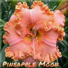 Pineapple Moon