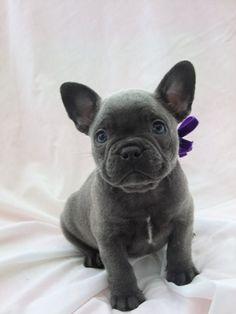 Blue | Mandanna Dogs blue French bulldog puppy cute for sale