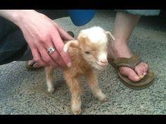 cabras del bebé lindo - un lindo y divertido bebé cabras. compilación   Nueva, HD - YouTube