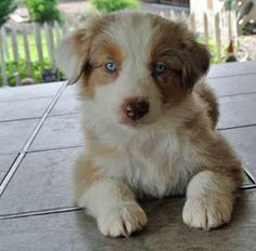 Chance the Australian Shepherd-Adorable Aussie!