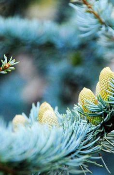 ** pinecones