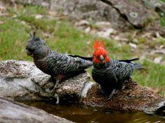 Australian Parrots and Birds - cockatoo