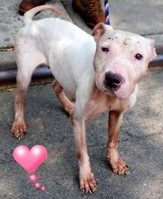 SUPER URGENT Manhattan Center KATE – A1042146 FEMALE, WHITE, PIT BULL MIX, 7 yrs STRAY – STRAY WAIT, NO HOLD Reason STRAY Intake condition UNSPECIFIE Intake Date 06/30/2015 http://nycdogs.urgentpodr.org/kate-a1042146/